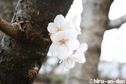 桜!桜!桜!