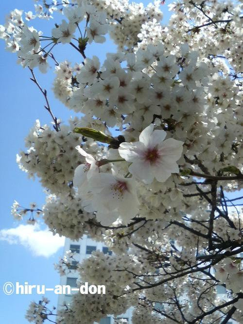 会社の近くの公園の桜 その1