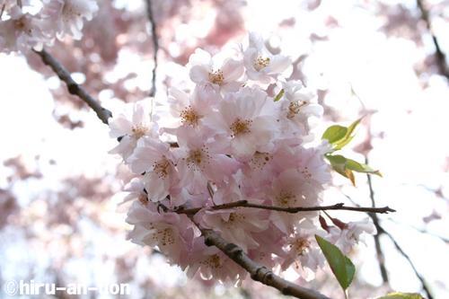 日比谷公園の桜 その3