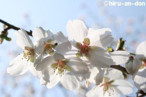 日比谷公園の桜 その4