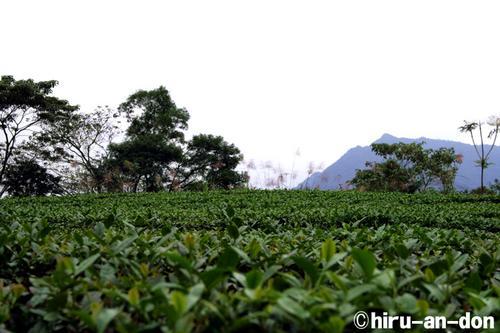文山包種茶 茶畑の風景