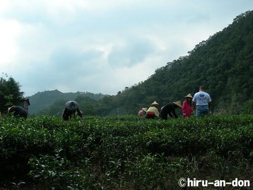文山包種茶 製茶実習 2006年冬茶 茶摘風景