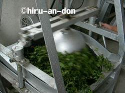 文山包種茶製茶実習 揉捻