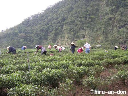 文山包種茶 製茶実習 2006年冬茶、茶摘風景